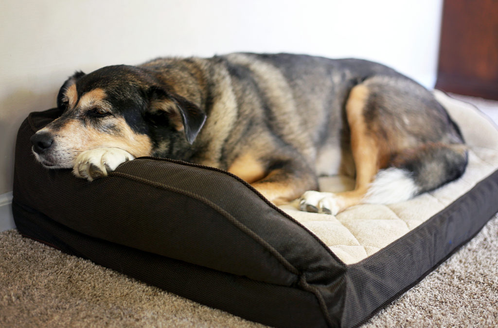 CBD + Pet Arthritis